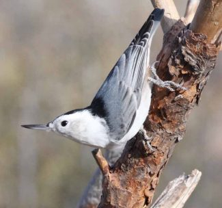 Slender-Billed Nuthatch (photo: Cary Kerst)